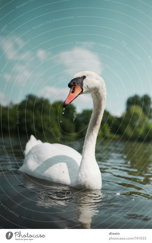 Hessentreffen 14 | Main (lieber) Schwan! Umwelt Natur Himmel Wolken Frühling Sommer Schönes Wetter Pflanze Baum Flussufer Tier Wildtier Vogel Blick