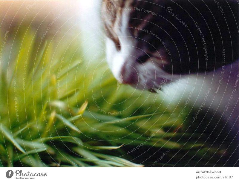 pixi mampft gras Katze grün Ernährung Gras lecker Halm Fressen grasgrün