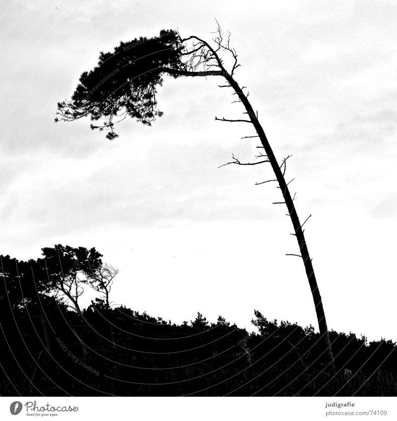 Windflüchter Baum Meer Küste Strand Sturm Wald schwarz weiß Fischland-Darß-Zingst Weststrand Landschaft