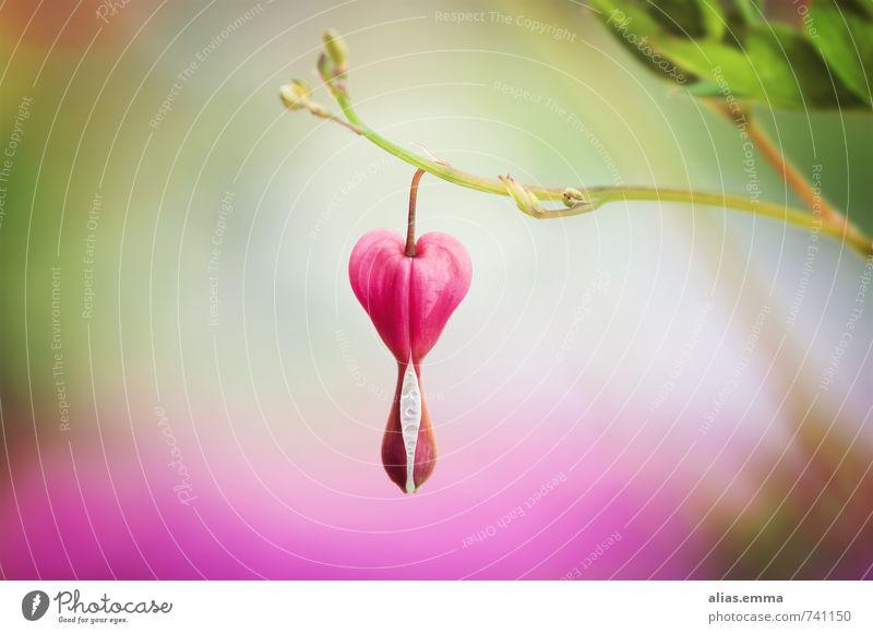 Herzens.Sache tränendes herz blume blüte natur symbolisch symbolik pflanze form herzform frühling herzlich garten sommer herzförmig schönheit vollkommen