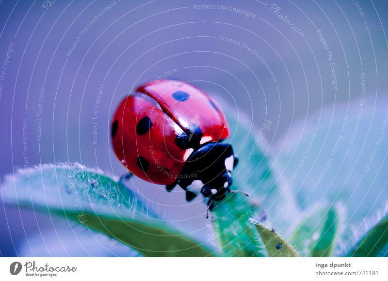 Marienkaefer Natur Pflanze Landschaft Tier Umwelt Frühling natürlich Garten Wildtier Insekt Fressen Käfer Marienkäfer Glücksbringer bestäuben