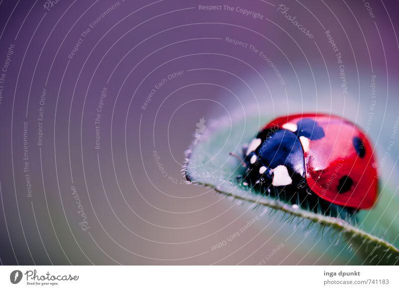 auf dem Blatt Natur Pflanze Tier Umwelt Wildtier Insekt Fressen Käfer krabbeln Marienkäfer