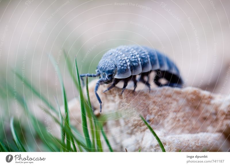 Wo gehts lang... Umwelt Natur Landschaft Urelemente Pflanze Gras Israel Negev Wüste Tier Wildtier Insekt Gliederfüßer Assel 1 krabbeln Umweltschutz Farbfoto