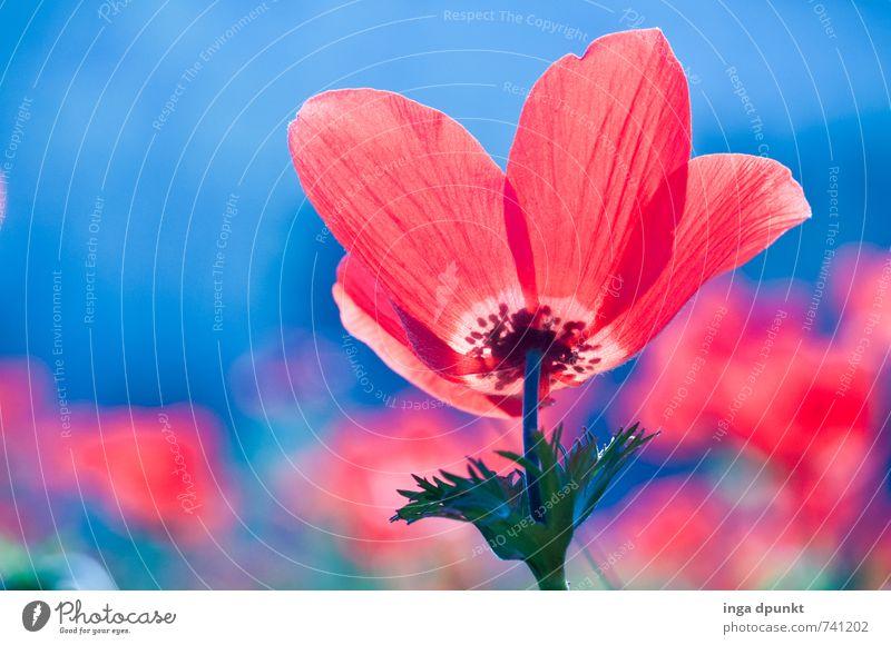 Anemone coronaria Umwelt Natur Landschaft Pflanze Frühling Blume Wildpflanze Anemonen Garten Wiese Israel Naher und Mittlerer Osten Blühend schön blau rot