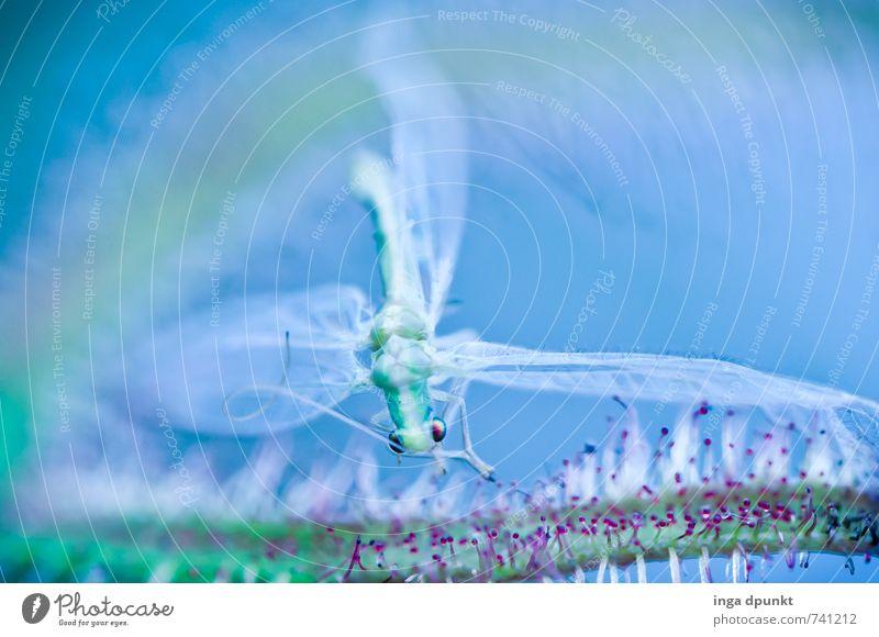 Flug nicht geglueckt Umwelt Natur Pflanze Tier exotisch Sonnentaugewächse Fleischfresser Garten Park Wildtier Totes Tier Flügel Insekt 1 fangen fliegen Leben