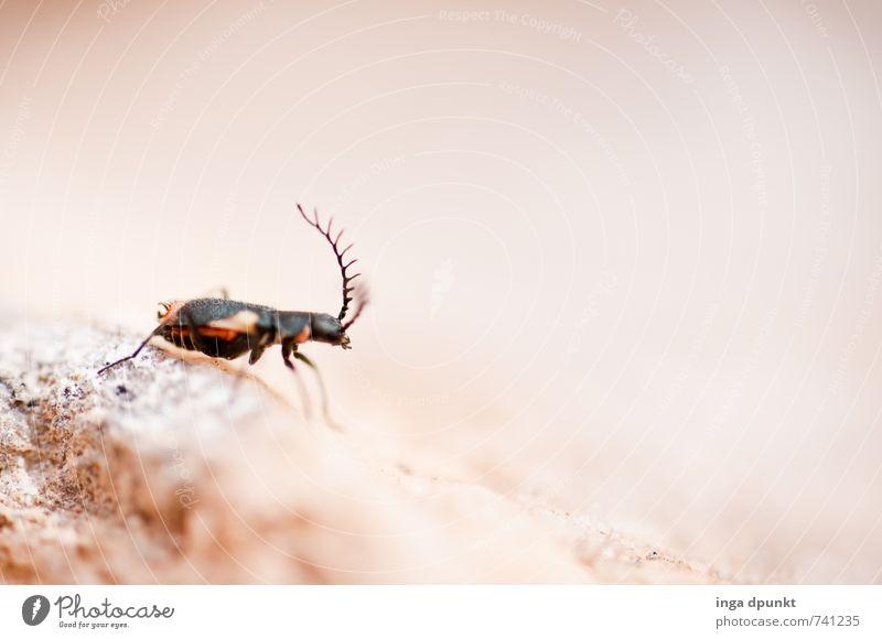 Schaut her mein Geweih! Umwelt Natur Landschaft Tier Urelemente Erde Sommer Wüste Wildtier Insekt 1 krabbeln Fühler Lebewesen Ameise klein Makroaufnahme