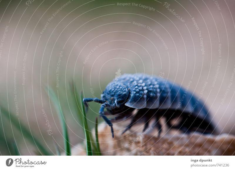 Auf vielen Beinen Umwelt Natur Landschaft Pflanze Tier Urelemente Gras Blatt Felsen Israel Naher und Mittlerer Osten Wildtier Insekt Assel 1 krabbeln Fühler