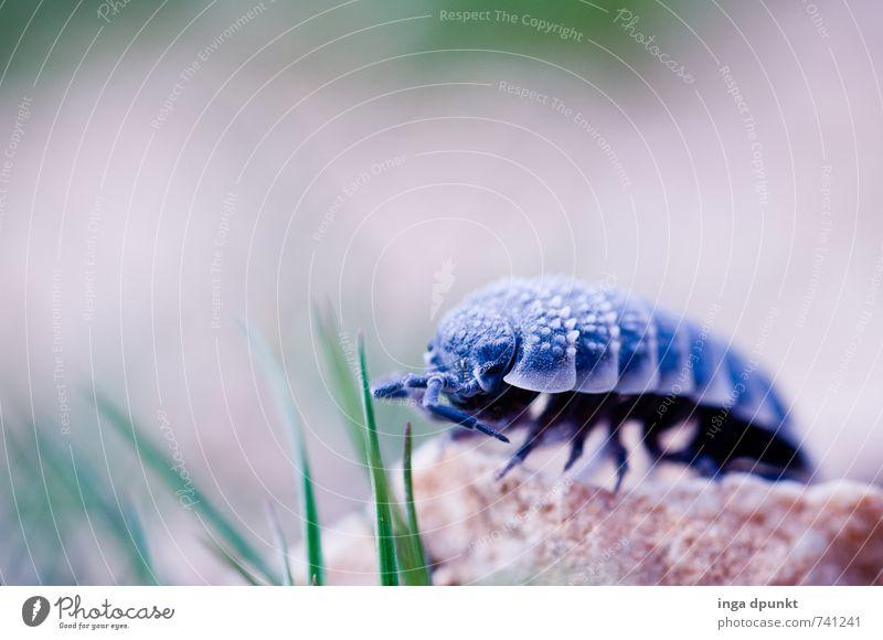 Krabbeltier Umwelt Natur Urelemente Erde Pflanze Gras Tier Insekt Assel 1 krabbeln Fühler Farbfoto Außenaufnahme Menschenleer Schatten Schwache Tiefenschärfe