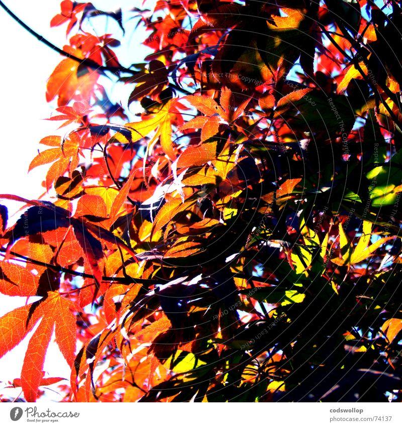 sunshine hit me Baum rot grün Sommer Herbst Sonne tree red light shadow Schatten autumn colour Farbe branch Ast structure Strukturen & Formen the bees