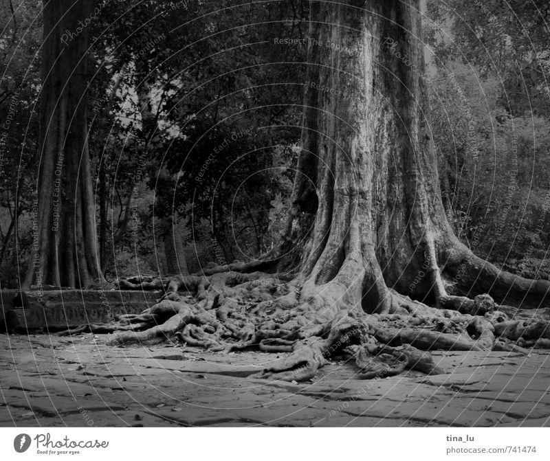 Angkor Baum exotisch Angkor Wat Kambodscha Ruine Tempel Denkmal atmen Wurzel Urwald bewachsen ausbreiten alt Vergangenheit Weisheit Buddhismus Monarchie König