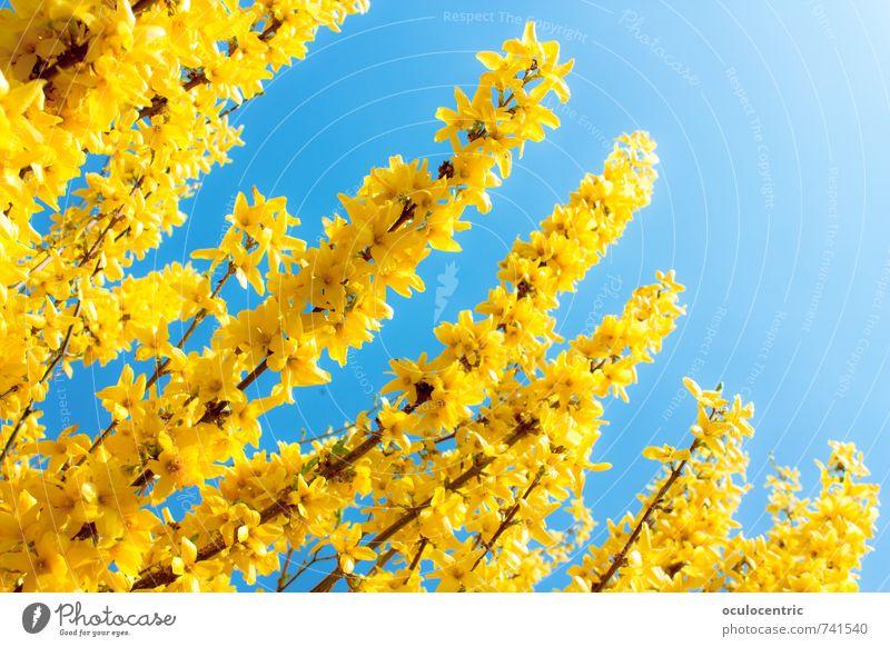Frühlingsstengel Umwelt Natur Pflanze Himmel Wolkenloser Himmel Sommer Schönes Wetter Blume Sträucher Grünpflanze Wildpflanze Forsithie Garten Park Wachstum