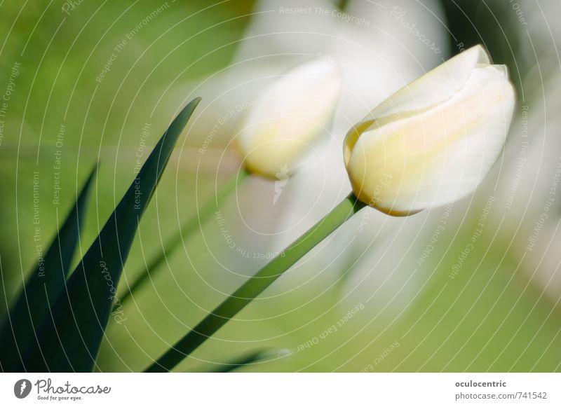 Tulpenhaftigkeit Natur Pflanze Blume Blüte Blühend Duft Blatt Garten Wachstum ästhetisch schön Fröhlichkeit weiß grün Frühling Sommer Sonnenstrahlen Wärme weich