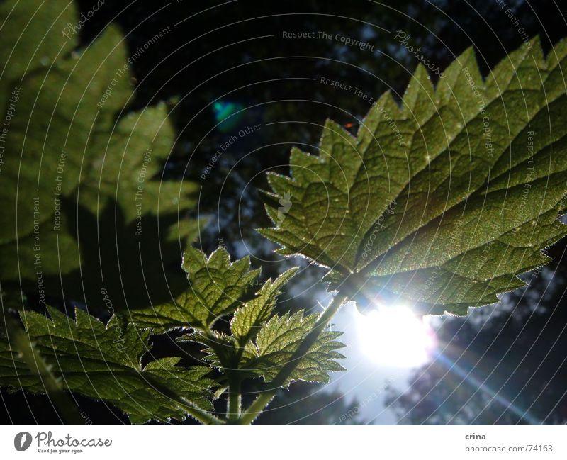 Sonne im Wald grün Pflanze Beleuchtung Heilpflanzen brennen Zacken Brennnessel Unkraut