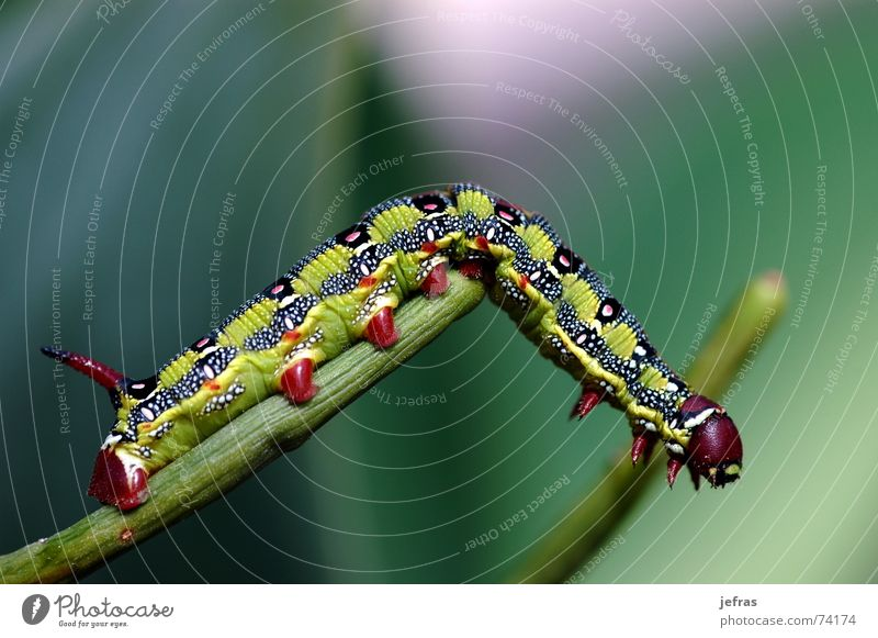 macro caterpillar Nahaufnahme Tier Makroaufnahme Natur alone Detailaufnahme eating garden insect leaf lonesome nerve vein wildlife