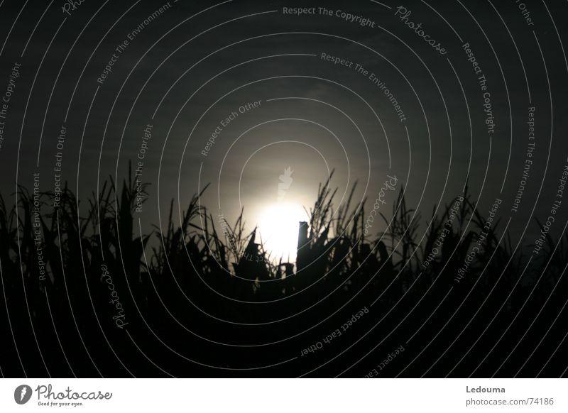 Mond hinter Maisfeld Stimmung Mond verstecken Korn Mais Abendsonne Mondschein Maisfeld