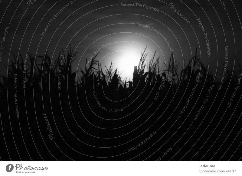 Mond hinter Maisfeld B/W schwarz weiß Nacht dunkel Abendsonne Mondschein Dämmerung Schwarzweißfoto black white shining Korn