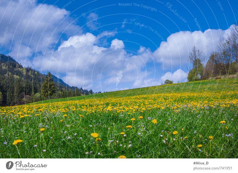 Blühende Landschaft Natur Pflanze Himmel Sonne Sonnenlicht Frühling Schönes Wetter Blume Blüte Wildpflanze Löwenzahn Wiese Hügel Blumenwiese Füssen Bundesadler
