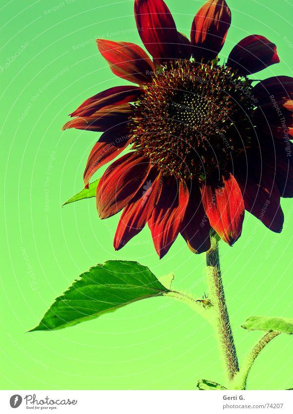lieber ro† rot Sonnenblume Sonnenblumenöl Lebensmittel Blüte grün Pflanze mehrfarbig sunflower blümchenbild nahrungsmittle Natur verrückt rote sonnenblume