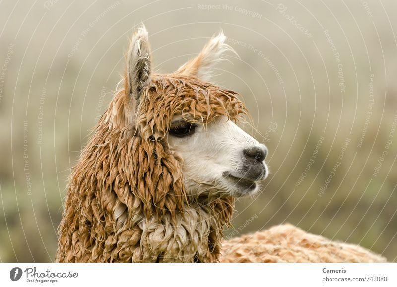 Alpaka Nutztier Tiergesicht 1 beobachten hören Ferien & Urlaub & Reisen Freundlichkeit Fröhlichkeit nah Neugier niedlich selbstbewußt Sympathie Vorsicht