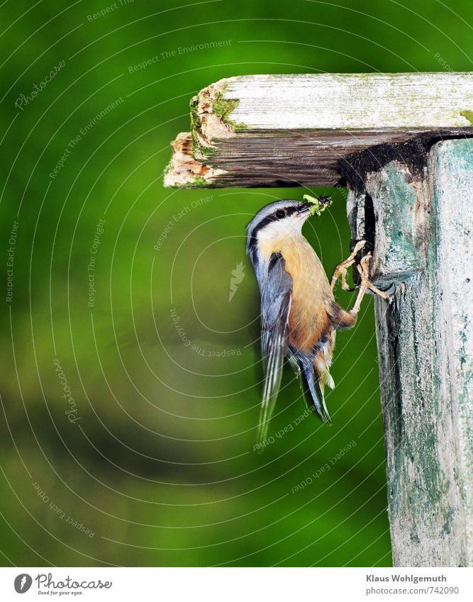 Schwerstarbeit 3 Umwelt Natur Tier Frühling Garten Park Wald Wildtier Vogel Krallen Kleiber 1 fliegen füttern blau mehrfarbig gelb grau grün schwarz weiß
