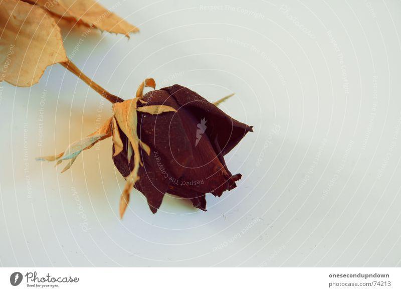 Rose alt Blatt Blüte Stengel vertrocknet getrocknet welk Qualität verblüht Blütenstiel
