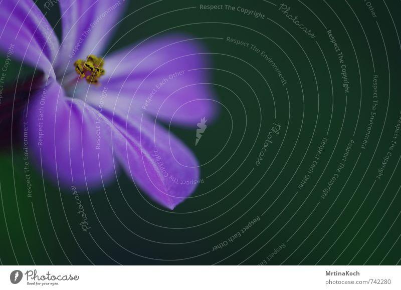makro. Umwelt Natur Pflanze Frühling Sommer Blume Nutzpflanze Blütenknospen Blütenstempel violett gelb Blütenblatt Blühend atmen Farbfoto mehrfarbig