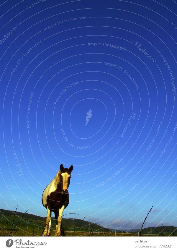 Für Photo-Beagle blau ruhig Erholung Wiese verrückt Pferd Frieden Mähne Tier Versicherung Wunschtraum Nüstern Veterinär wiehern