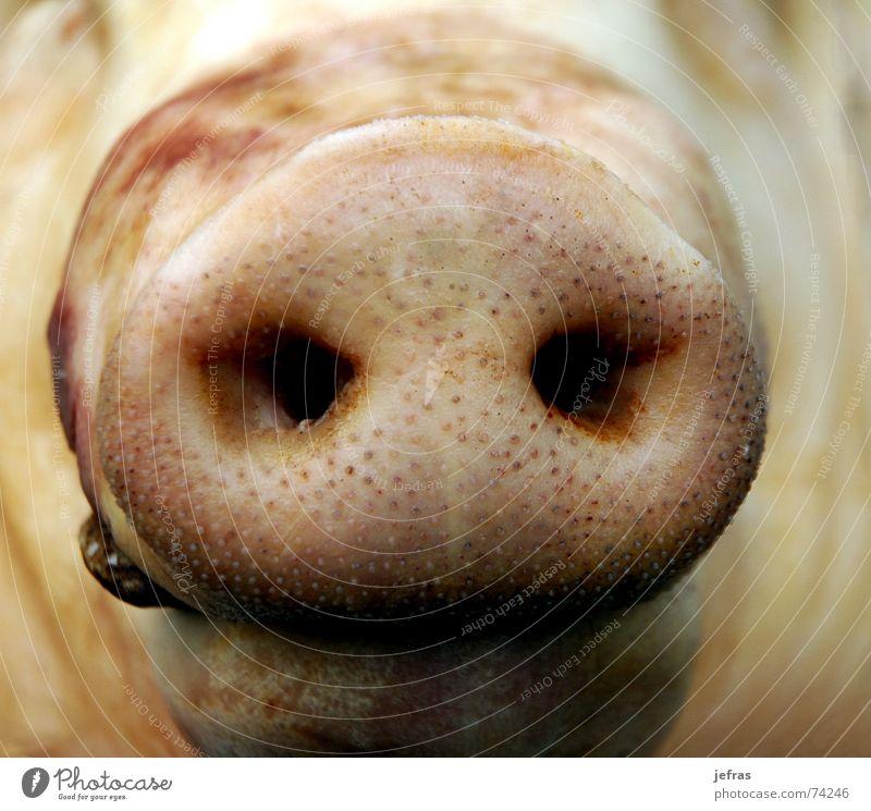 snout Nahaufnahme Ernährung Makroaufnahme animal bacon Detailaufnahme face fat meat nose pig pork