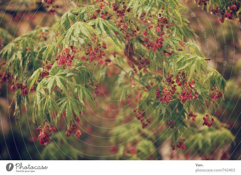 Frühsommer Natur Pflanze Frühling Baum Sträucher Blatt Grünpflanze Frucht Garten hängen grün rot Farbfoto Gedeckte Farben Außenaufnahme Nahaufnahme Menschenleer