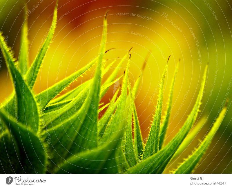 on fire Natur grün rot Pflanze Sommer Blume gelb Herbst Bewegung Blüte Brand frisch Ecke Spitze Jahreszeiten brennen