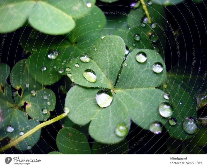 Tears From Heaven Pflanze grün rot Blatt Leben Blüte Glück Garten Regen träumen frisch Wassertropfen nass Kugel feucht Klee