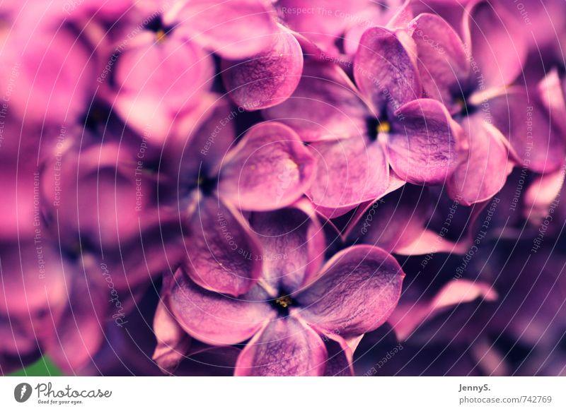 Fliederträume Natur Farbe Pflanze Blume Frühling Blüte Wachstum