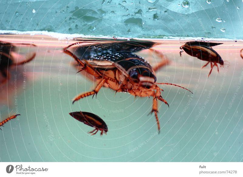 gelbrandkäfer tauchen Teich Schwimmkäfer Käfer gepanzert Wasser Schädlinge hühnerfutter Im Wasser treiben Schwimmen & Baden