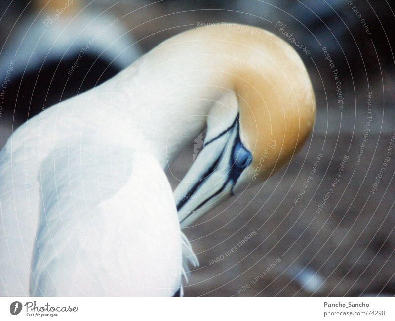 Blaufuß Tölpel schön weiß blau gelb Vogel Reinigen Schnabel Neuseeland friedlich Tölpel (Vogelart)