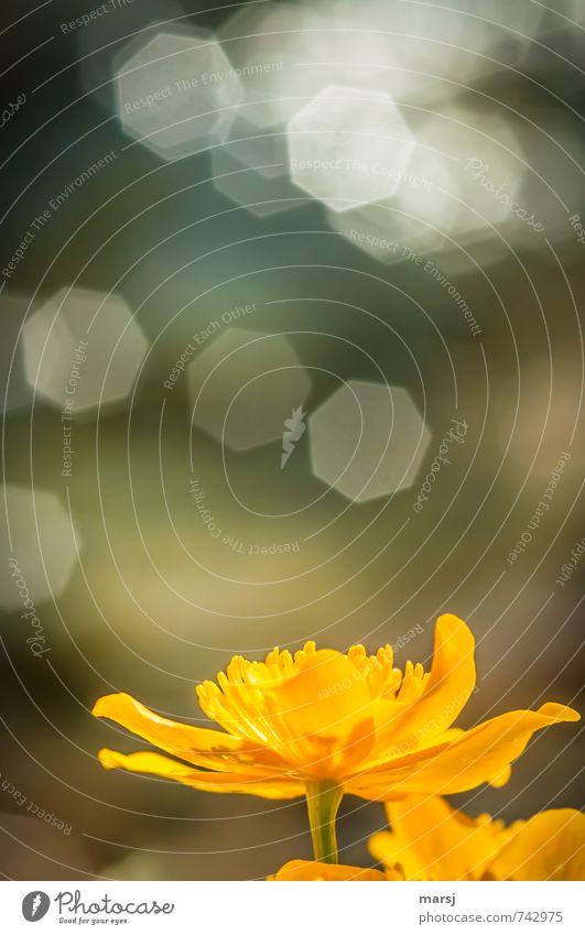 Leuchten ruhig Meditation Natur Pflanze Frühling Blume Blüte Grünpflanze Wildpflanze Sumpf-Dotterblumen Blühend Erholung glänzend genießen leuchten träumen