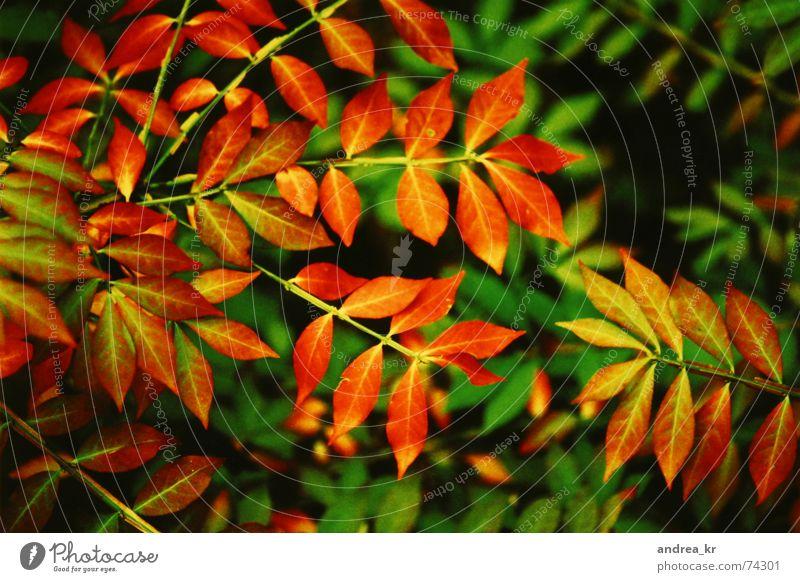 herbstrausch rot Pflanze Freude Blatt Herbst Garten Sträucher Cross Processing