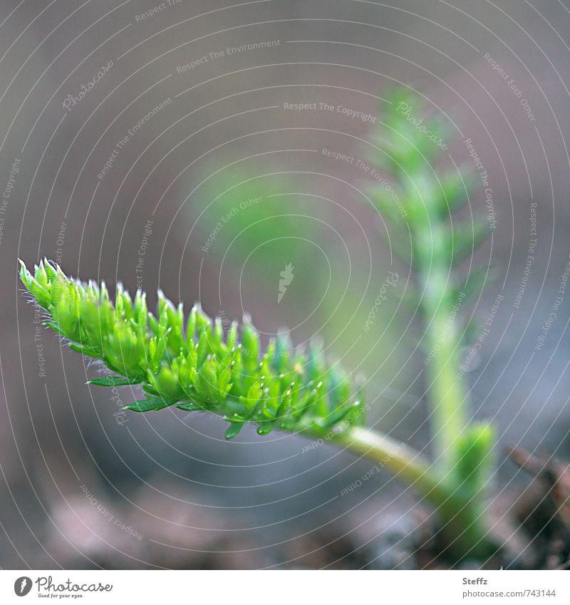 Möhrchengrün im Frühlingsgarten Möhre Möhrengrün Karotte Gemüse Gartengemüse Wurzelgemüse Jungpflanze Bio Bioprodukte erste Triebe wachsen Frühlingsgemüse