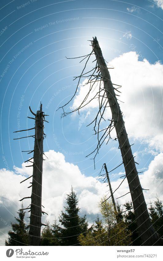 Totes Holz Himmel Natur blau alt Pflanze Sonne Baum Wolken Wald Umwelt Frühling Tod Baumstamm skurril himmelblau standhaft