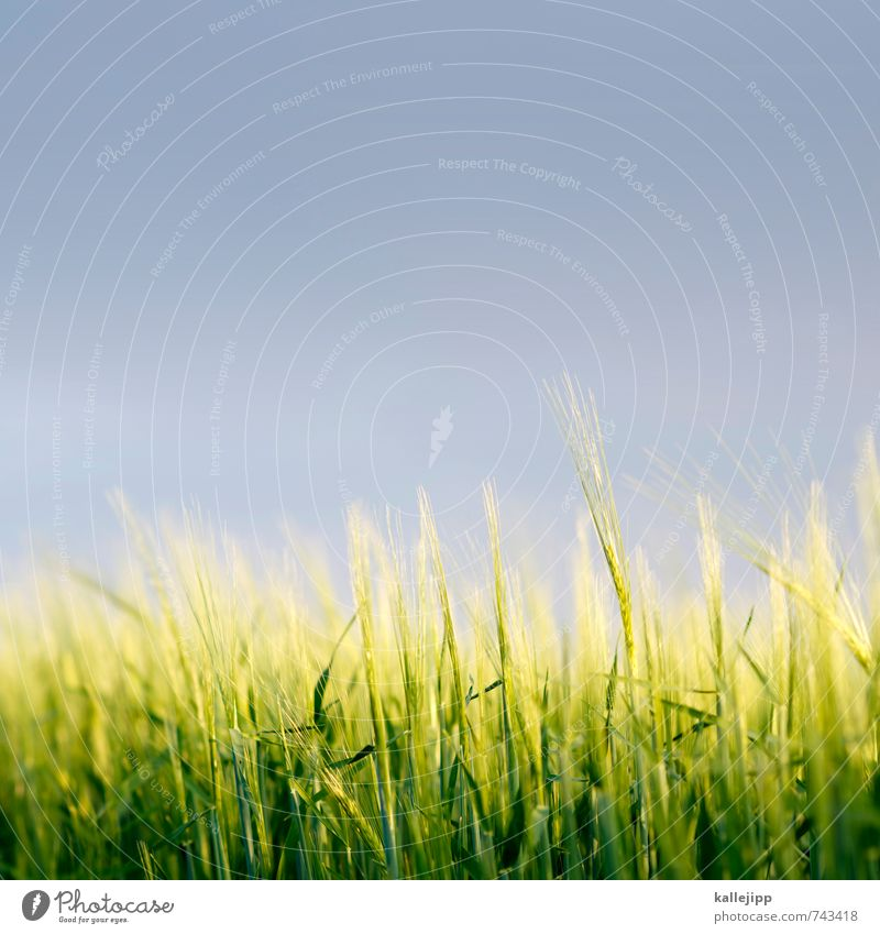 85mm Umwelt Natur Landschaft Pflanze Tier Luft Wolken Gewitterwolken Klima Wetter Grünpflanze Nutzpflanze Feld Wachstum Getreide Weizenfeld Rogen Hafer Halm