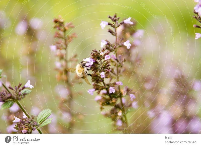 lecker lecker Natur grün Pflanze Herbst Wiese Blüte Garten Feld violett Insekt Biene Hummel Harz Makroaufnahme Heide Heidekrautgewächse