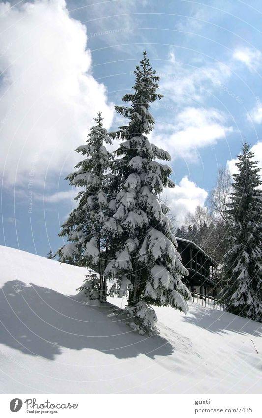 Schneetanne Baum Winter Berge u. Gebirge Tanne