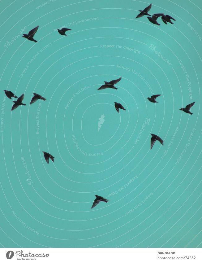 Herbstvögel II grün Vogel Himmel starling fliegen Tanzen autumn sky flying birds dance freedom Freiheit