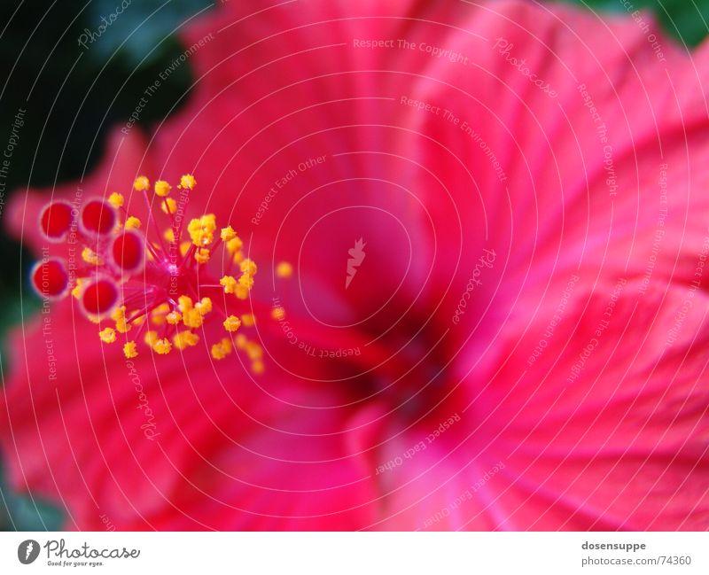 Pretty in Pink rosa rot Blume Hibiscus Hawaii Blüte schön nah ruhig magnum Stempel Pollen Makroaufnahme Nahaufnahme Blühend Blütenkelch space