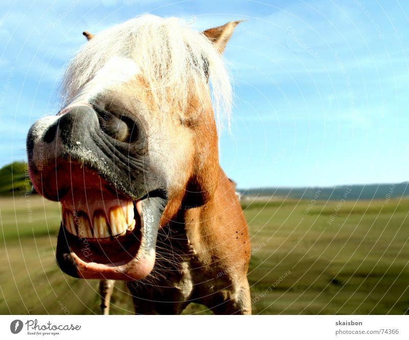 grinsepferd Freude Tier Wiese lachen lustig Freizeit & Hobby Humor verrückt Coolness Pferd nah Gebiss Weide schreien Neigung Haustier