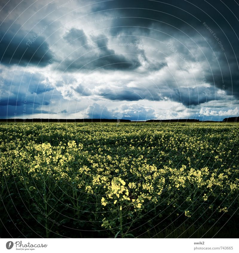 Kraftwerk Umwelt Natur Landschaft Pflanze Gewitterwolken Horizont Wetter schlechtes Wetter Wind Nutzpflanze Rapsfeld Rapsanbau Rapsblüte Feld Blühend Wachstum