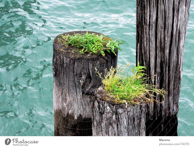 Dalben im See Natur Wasser grün blau Leben Gras Holz See Wellen Vergänglichkeit Lebensfreude Teile u. Stücke Grünpflanze Bodensee Symbiose Dalben