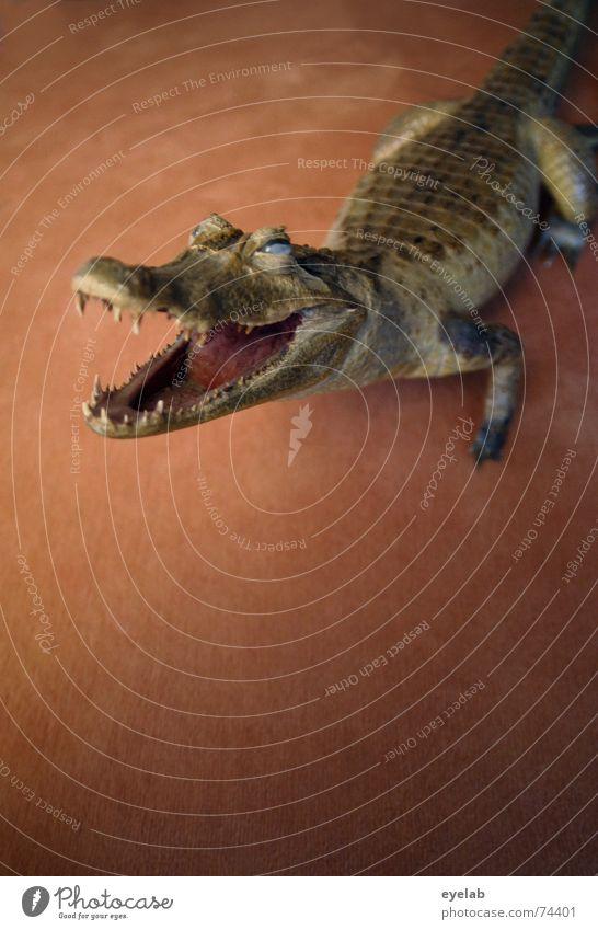 Kein Hund grün Auge Tier Hund braun Angst Haut Bodenbelag Gebiss Vertrauen Zunge Teppich Maul Tanzfläche Krokodil Alligator