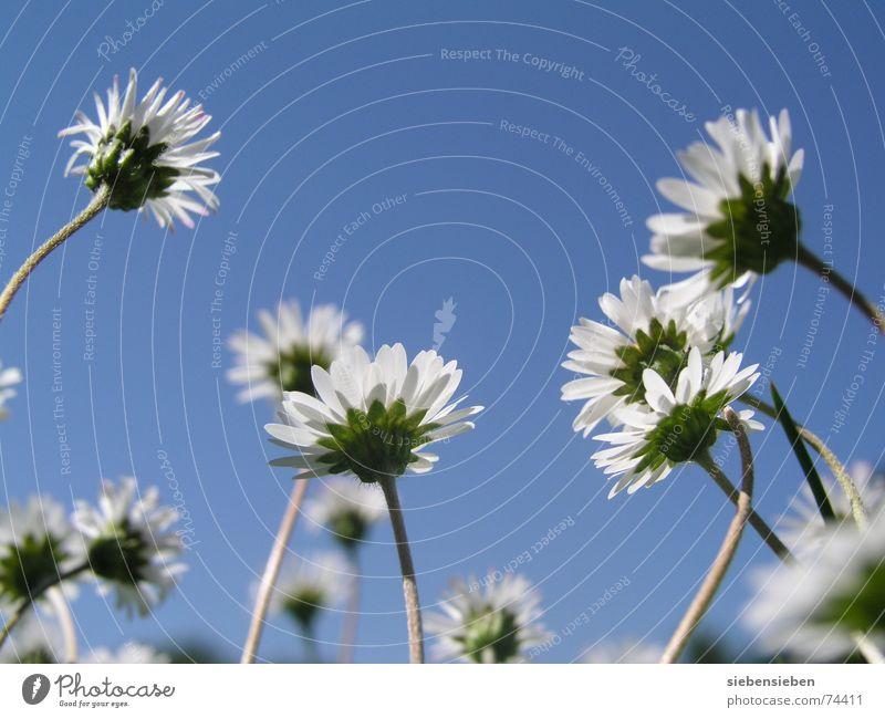 Zehn von Millionen Gänseblümchen Blume Blüte Frühling genießen Lebensfreude Wachstum Freude harmonisch attraktiv Grünfläche Blühend Bergwiese schön