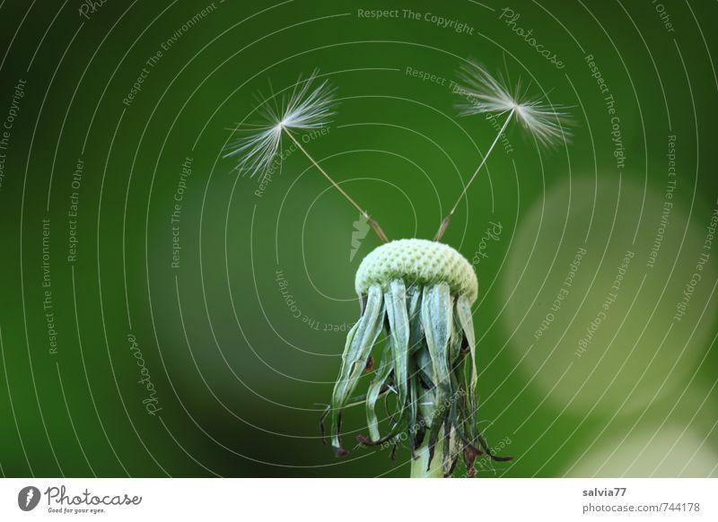 Abflugbereit harmonisch ruhig Natur Pflanze Frühling Sommer Blüte Wildpflanze Wiese fliegen verblüht dünn frei Zusammensein klein natürlich oben grün