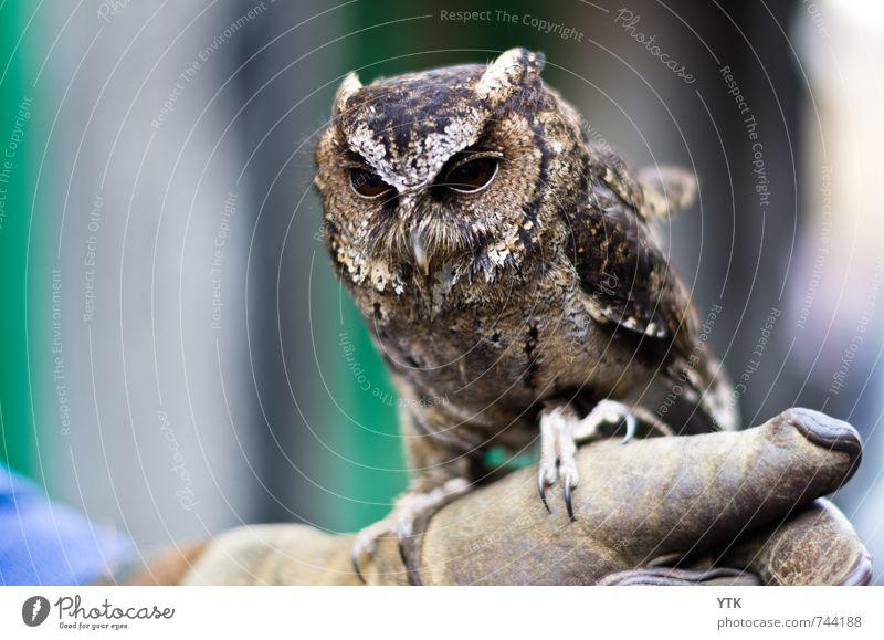 Kautz Tier Wildtier Tiergesicht Flügel Fell Krallen 1 Tierjunges entdecken hocken Jagd Wachsamkeit Erfahrung Schüchternheit Blick beobachten Falkner Tierzucht